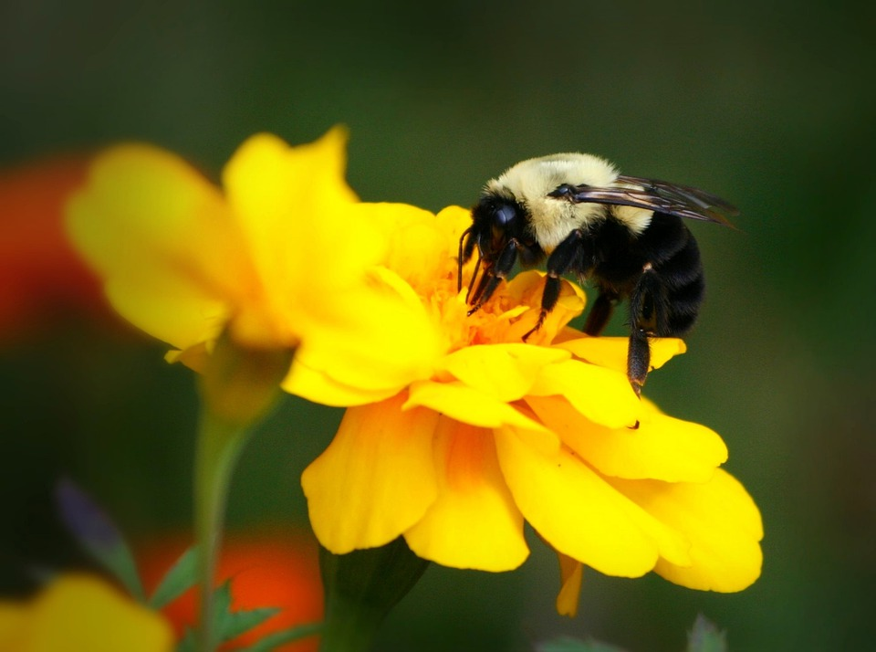 Bee, Bumblebee, Insect, Yellow, Flower, Marigold, Sting