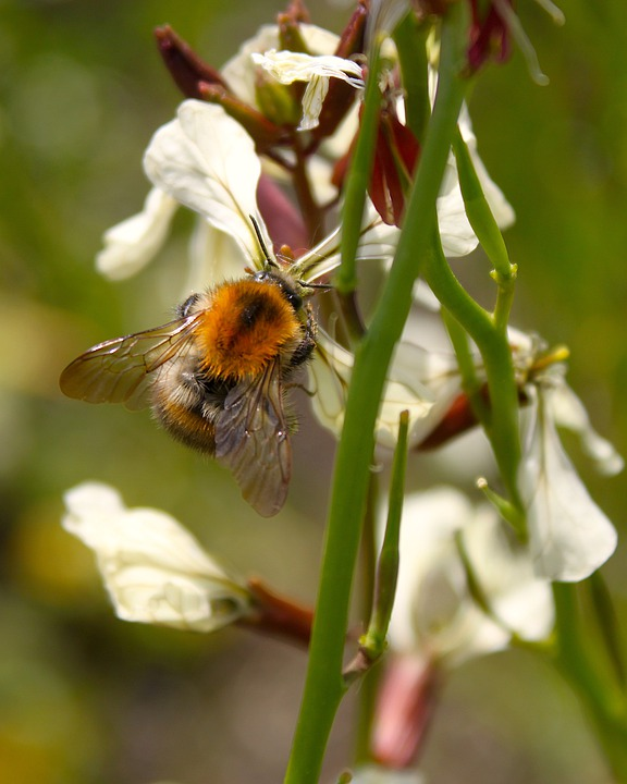 Bumblebee, Flower, Arugula, Insect, About, Spring