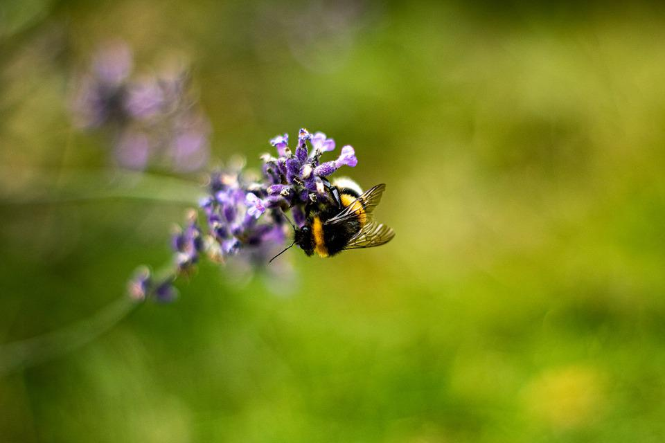 Bee, Lavender, Bumblebee, Insect, Natural, Macro