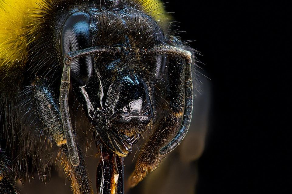 Portrait, Bee, Insect, Bumblebee, Bug, Macro