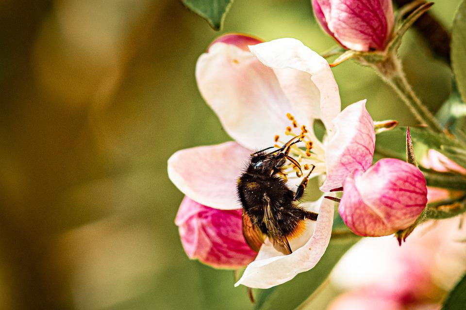 Apple Blossom, Flower, Bee, Insect, Bumblebee, Nectar