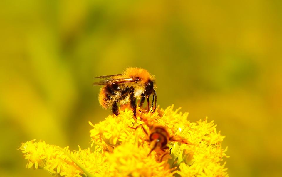 Bumblebee Ore, Pszczołowate, Flower, Apiformes, Animals