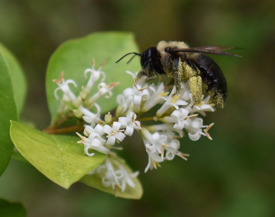 Bumblebee, Pollen, Bee, Flower, Insect