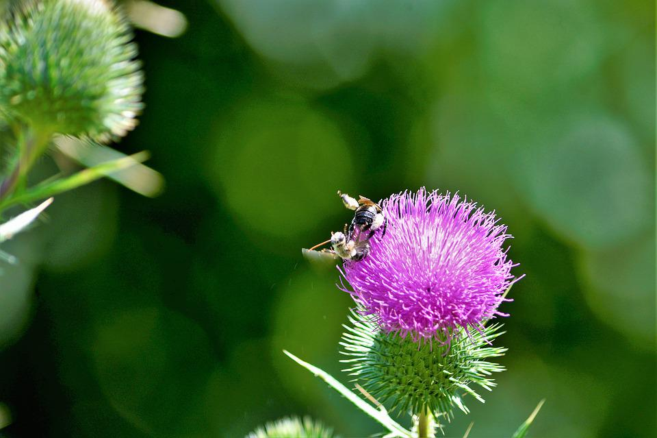Bumblebees, Bumblebees Mating, Thorn Bush, Flower