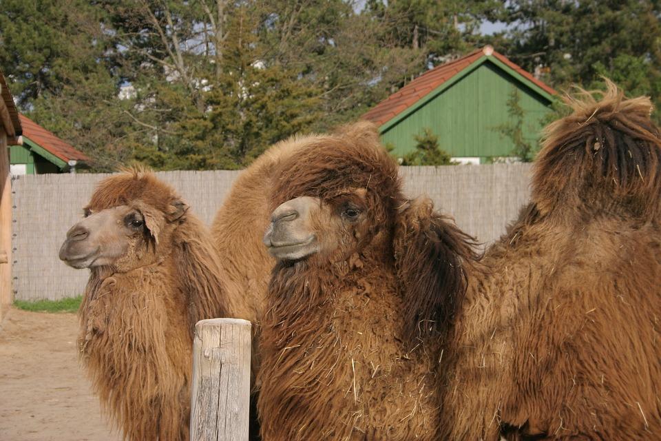 Camel, Zoo, Bump, Mammals