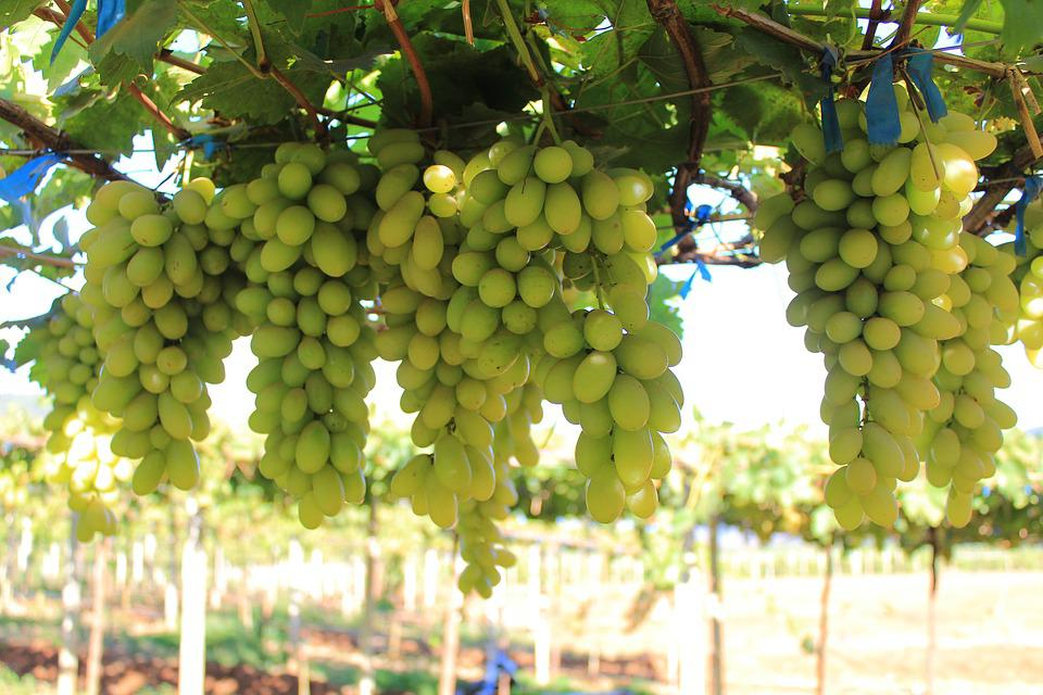 Fruit, Cluster, Agriculture, Grape, Bunch