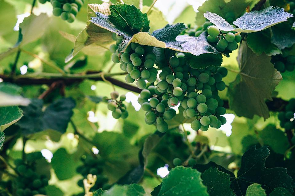 Grapes, Green, Fruits, Bunch, Chardonnay, Food, Fresh