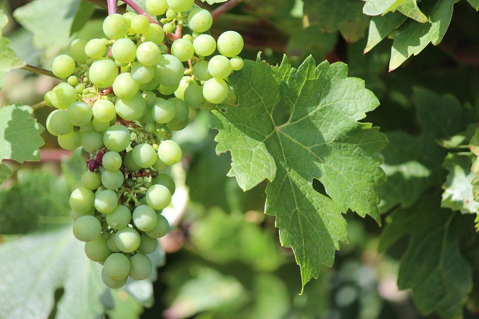 Grapes, Wine, Vine, Bunch, Leaf