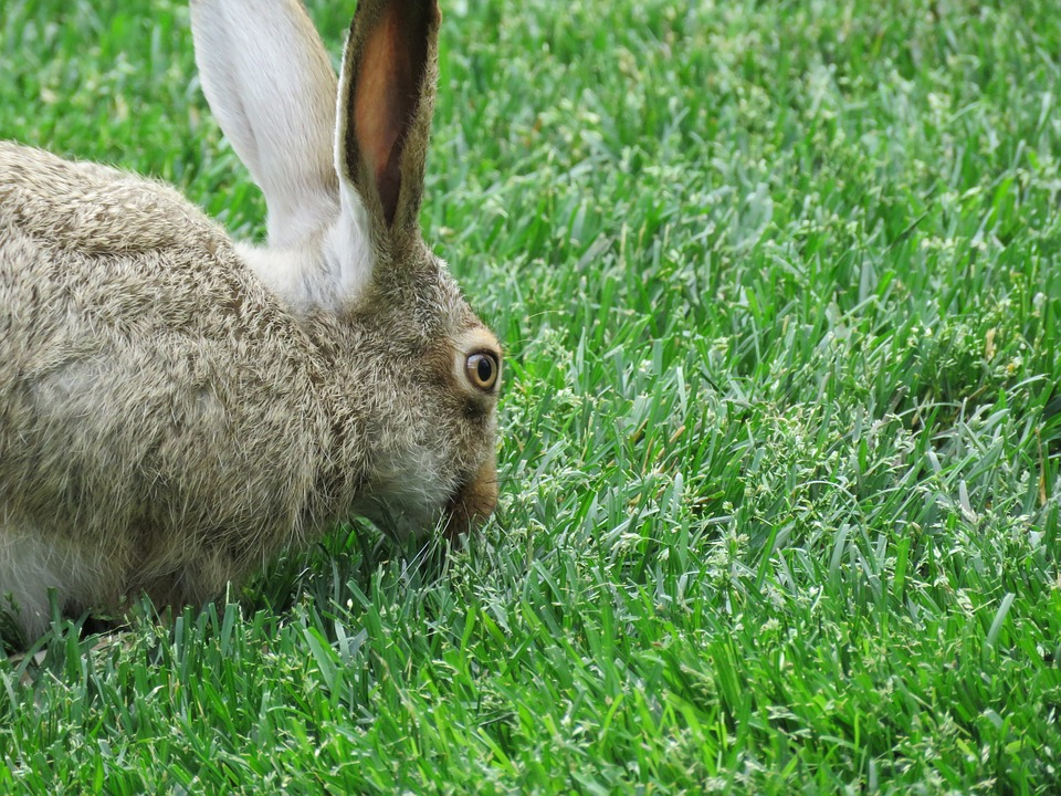 Bunny, Rabbit, Hare, Animal, Spring, Furry, Grass