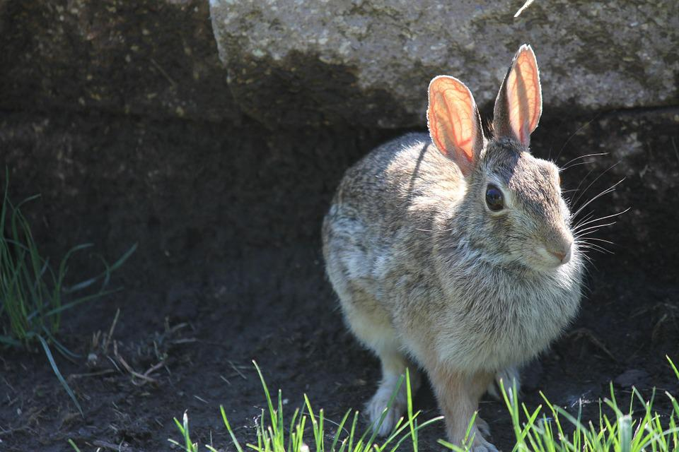 Rabbit, Bunny, Hare, Animal, Easter, Mammal, Ears