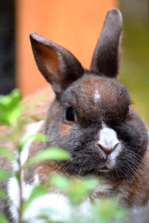 Bunny, Pet, Animal, Rabbit, Whiskers, Domestic
