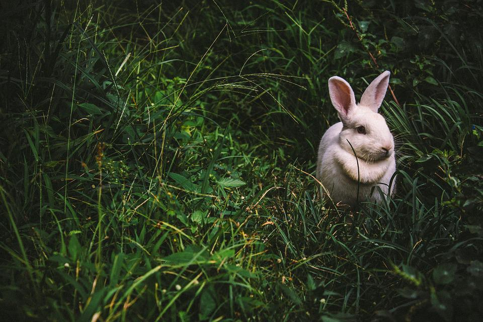 Animal, Bunny, Cute, Grass, Outdoors, Rabbit