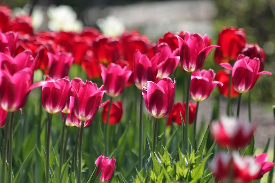 Tulips, Red Tulips, Burgundy, Flowers, Spring, Beauty