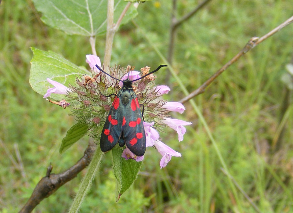 Black, Burnet, Butterfly, Dark, Filipendulae, Red, Six