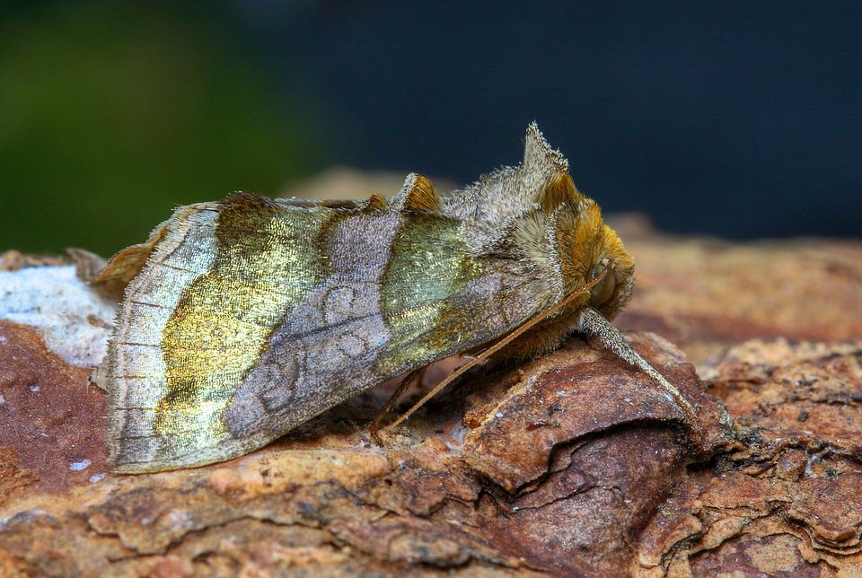 Moth, Burnished Brass, Summer, Outdoor, Colorful