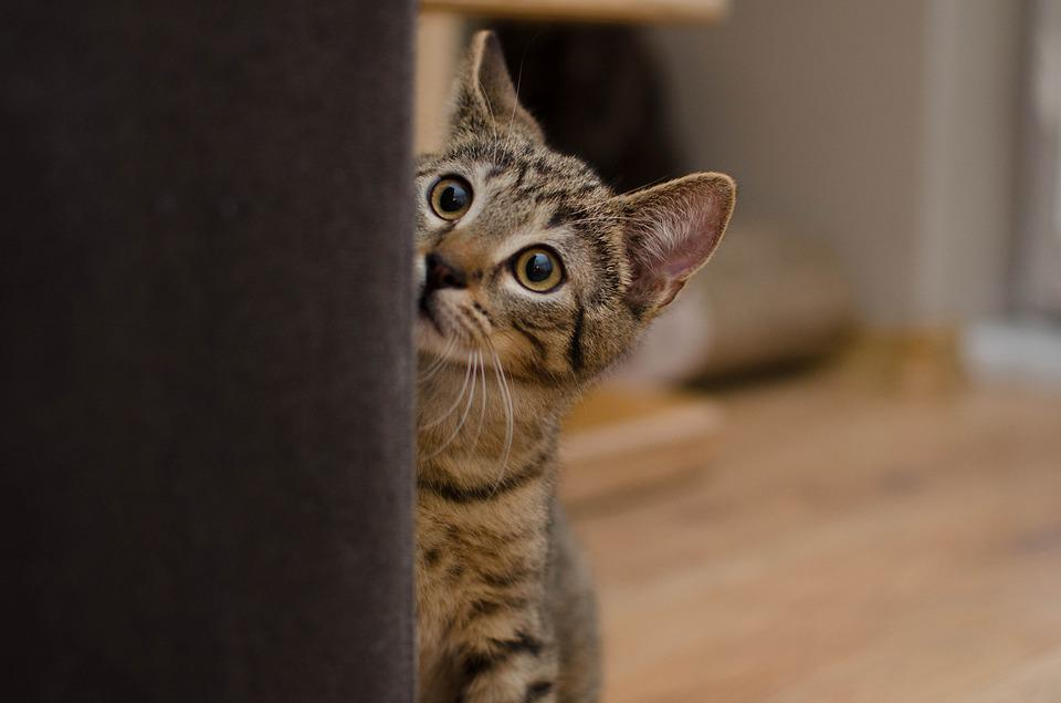 Cat, Bury, Tabby, Shy, Home
