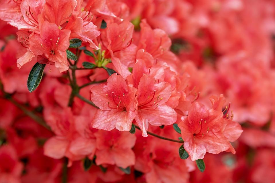 Azalea, Flowers, Bloom, Bright, Bush, Rhododendron
