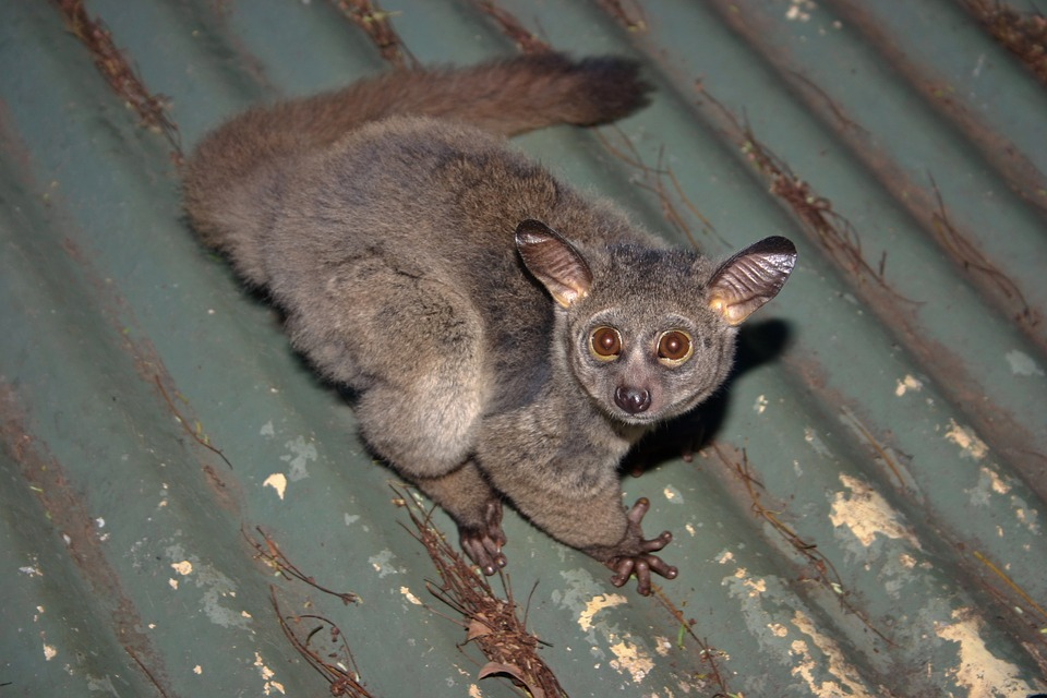 Galago, Bush Baby, Nocturnal, Big Eyes, Large Ears