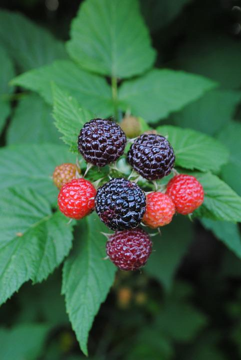 Blackberries, Fruits, Plant, Bush, Fruit, Black