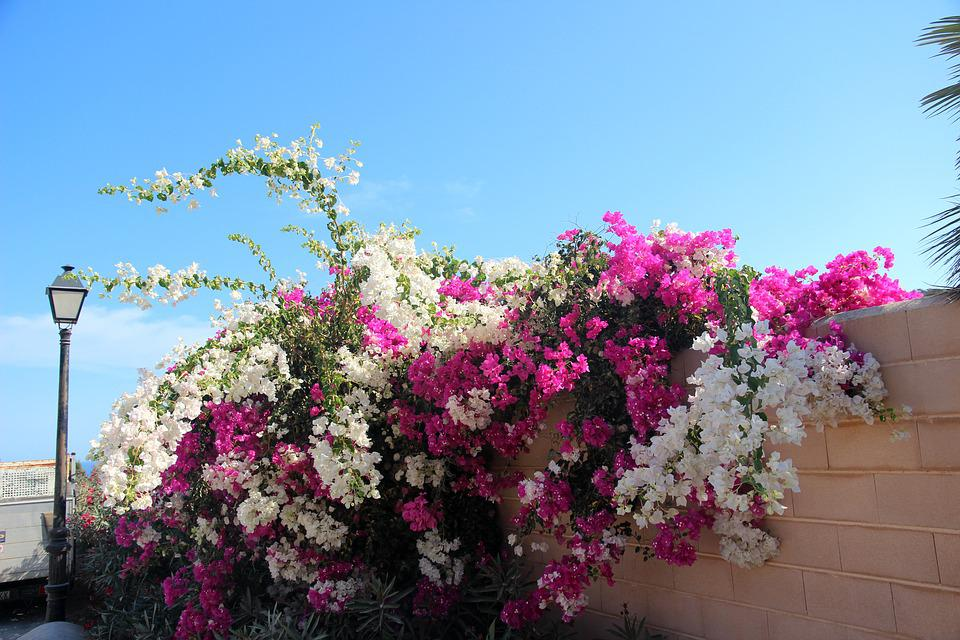 Bougainvillea, Blossom, Bloom, Bush, Garden, Bloom