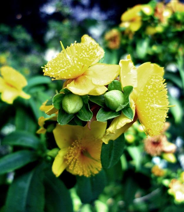 St John's Wort, Blossom, Bloom, Bud, Bush, Branch