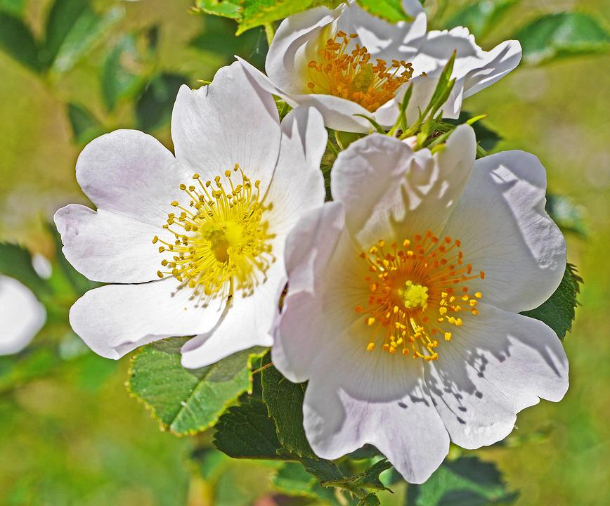 Wild Rose, Summer, Blossom, Bloom, Nature, Plant, Bush