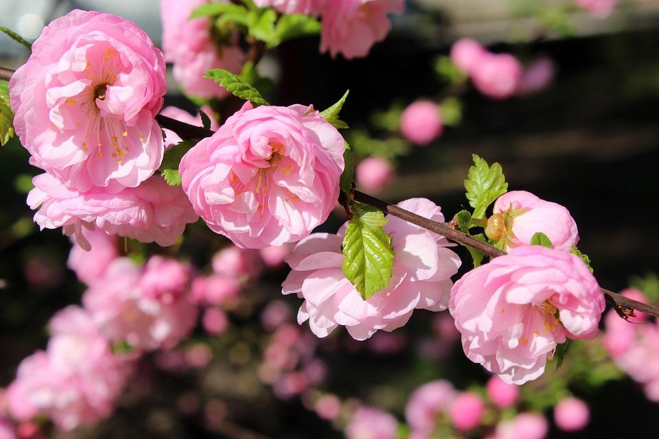 Almond, Bush, Pink Flowers, Spring, Boost, Flower