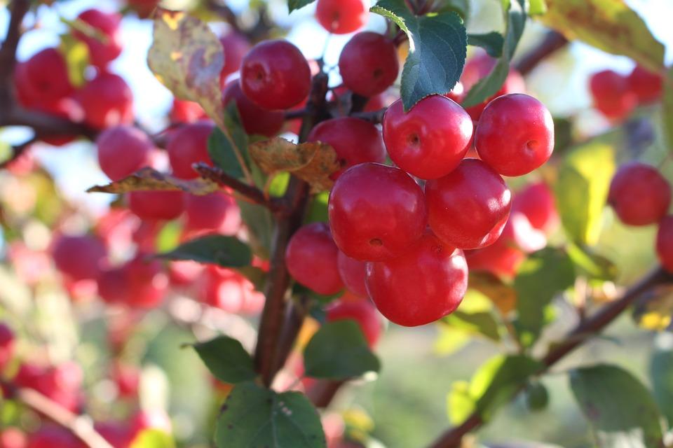 Embellishment, Zieraepfel, Bush, Red, Green, Bright