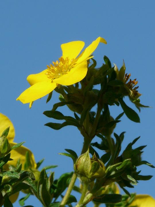 Prosperous, Finger Shrub, Bush, Dasiphora Fruticosa