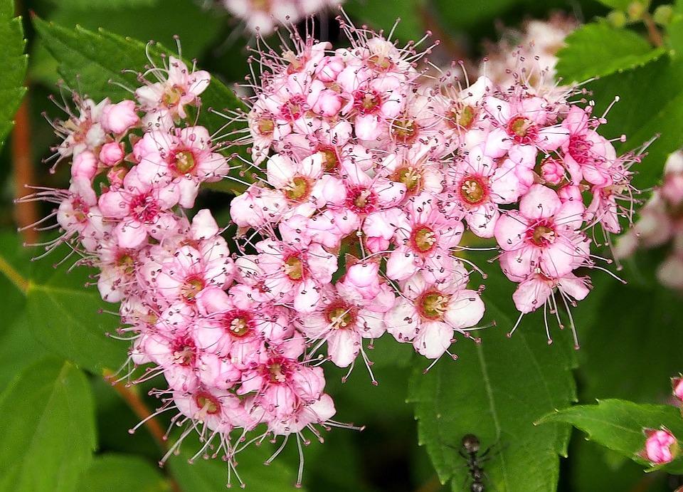 Flowers Pink Bush Delicate Flower Summer