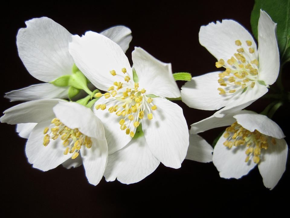 Flower, Jasmine, Bush, White, Aroma, Tender, Beautiful