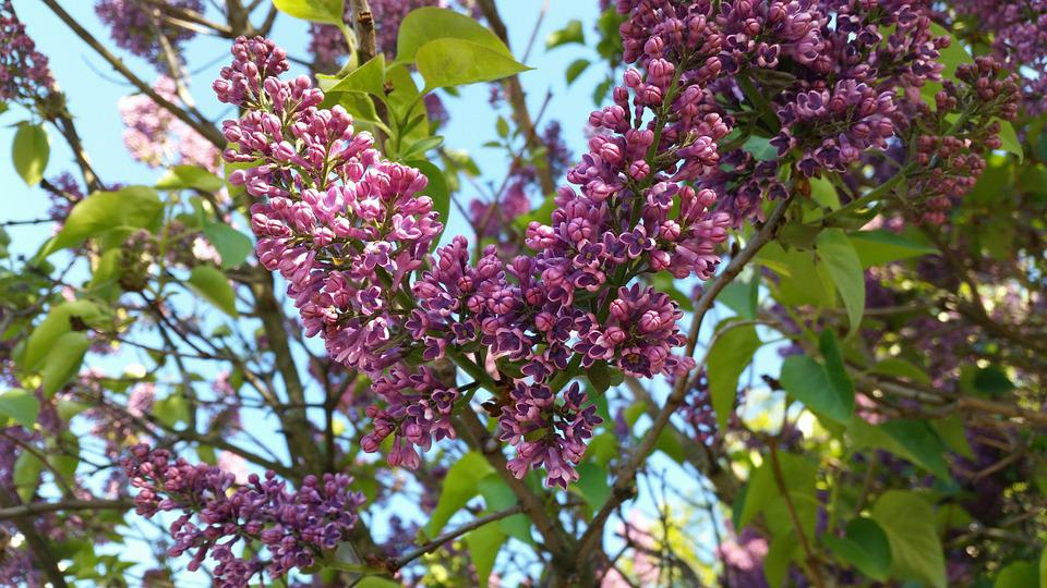 Lilac, Bush, Flower, Summer