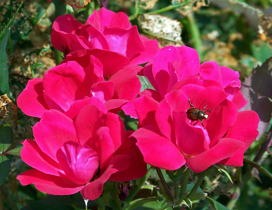 Rose, Flower, Red, Plant, Beetle, Bush, Floral, Flora