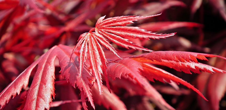 Japanese Maple, Bush, Foliage, Colorful, Decorative