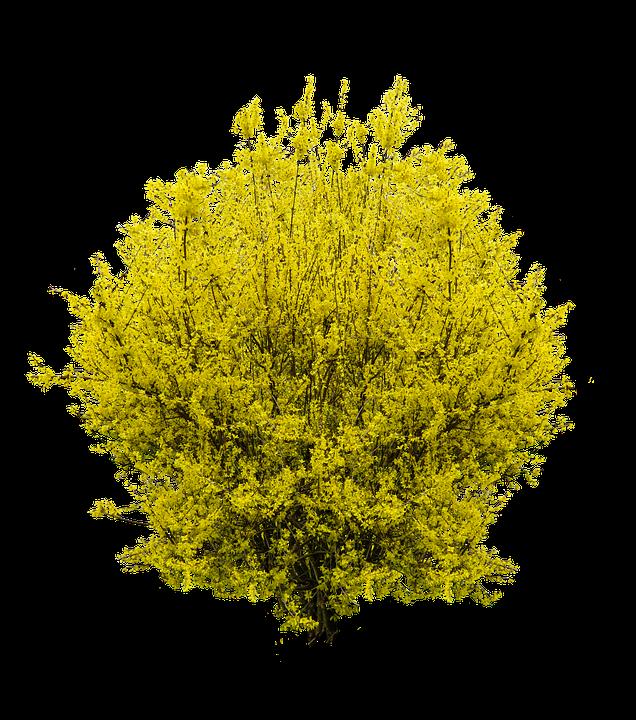 Forsythia, Spring, Gold Lilac, Bush, Spring Awakening