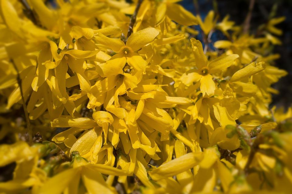 Forsythia, Bush, Garden Forsythia, Gold Lilac