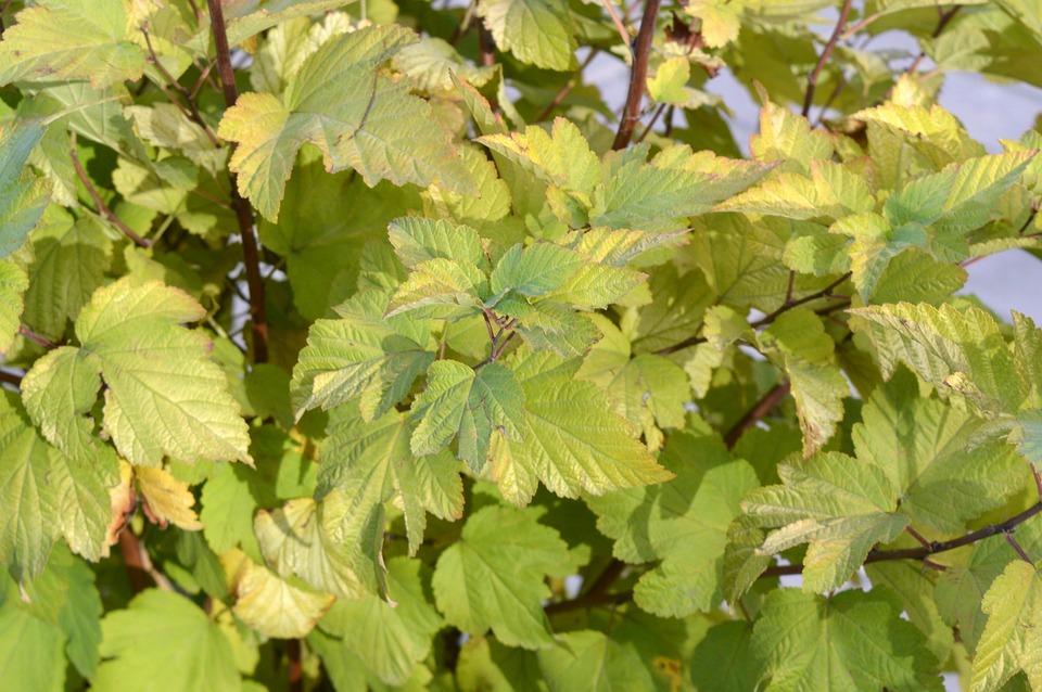 Physocarpus, Leaves, Green, Yellow, Bush, Greens