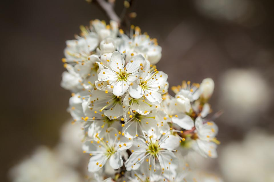 Hawthorn, Blossom, Bloom, White, Bush, Spring