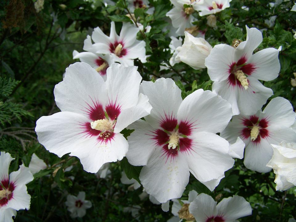 Bush Mallow, White-flowered, Garden