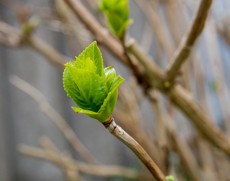 Bud, Bush, Spring, Nature
