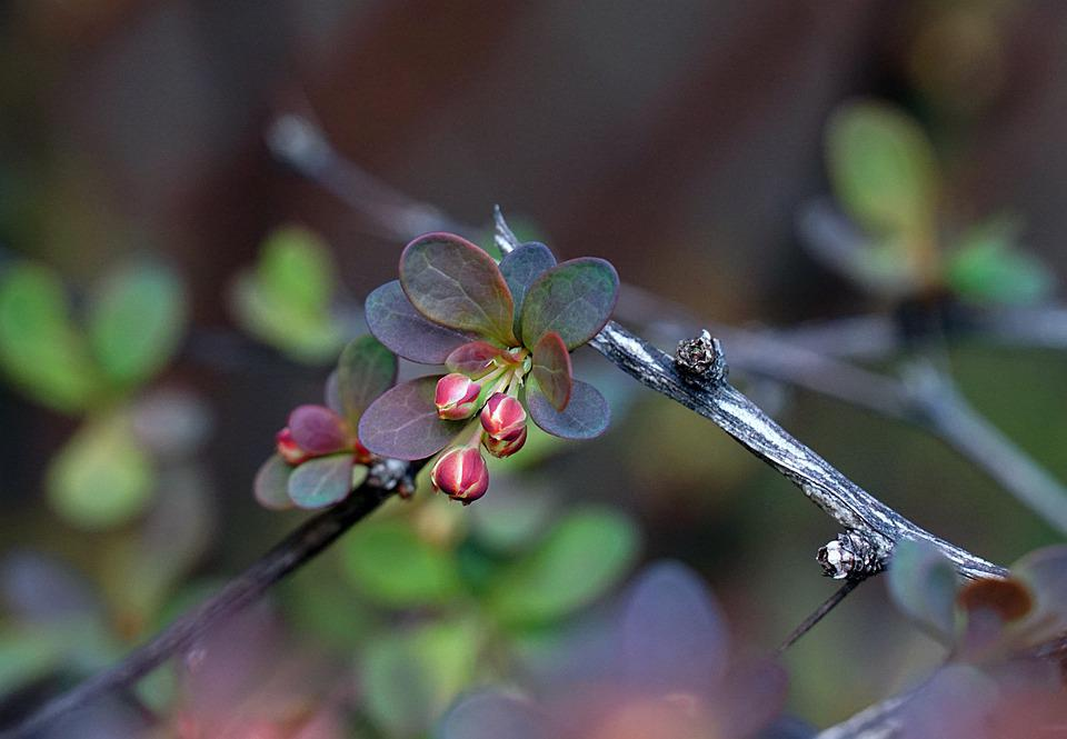 Buds, Bush, Spring, Wild, Plant, Nature