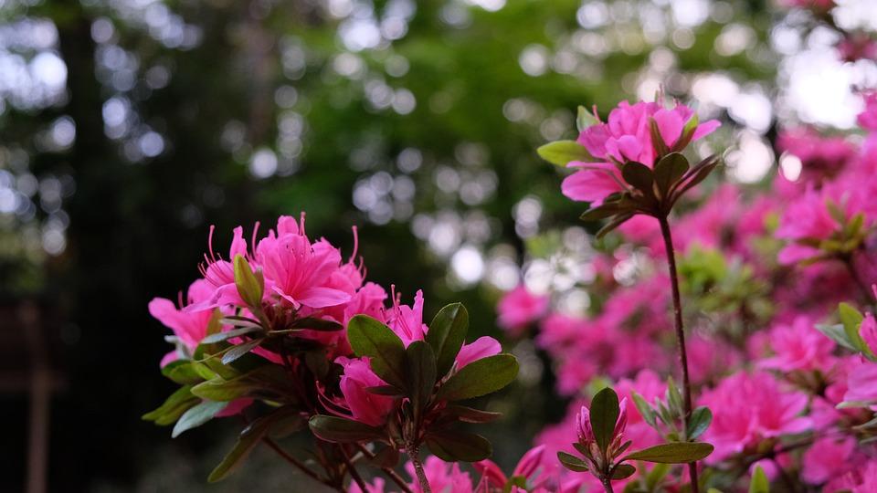 Flowers, Petals, Bush, Garden, Azalea, Blossom