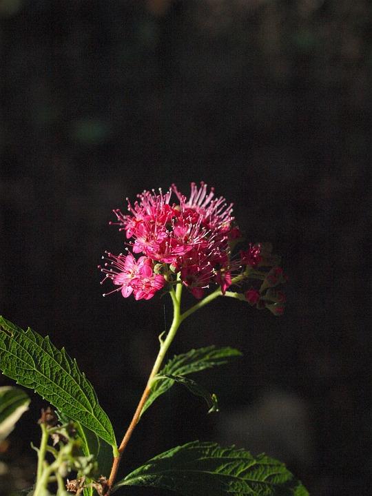 Spiere, Bush, Blossom, Bloom, Pink, Ornamental Shrub