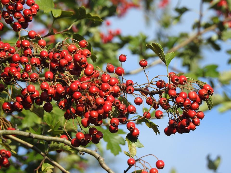 Berry Red, Plant, Bush