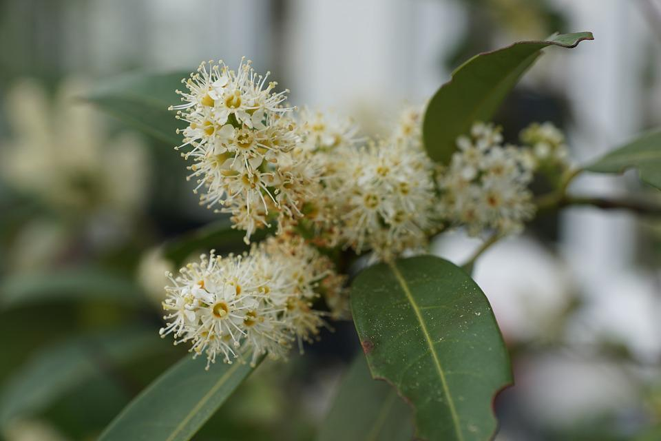 Laurel, Bush, Green, Plant