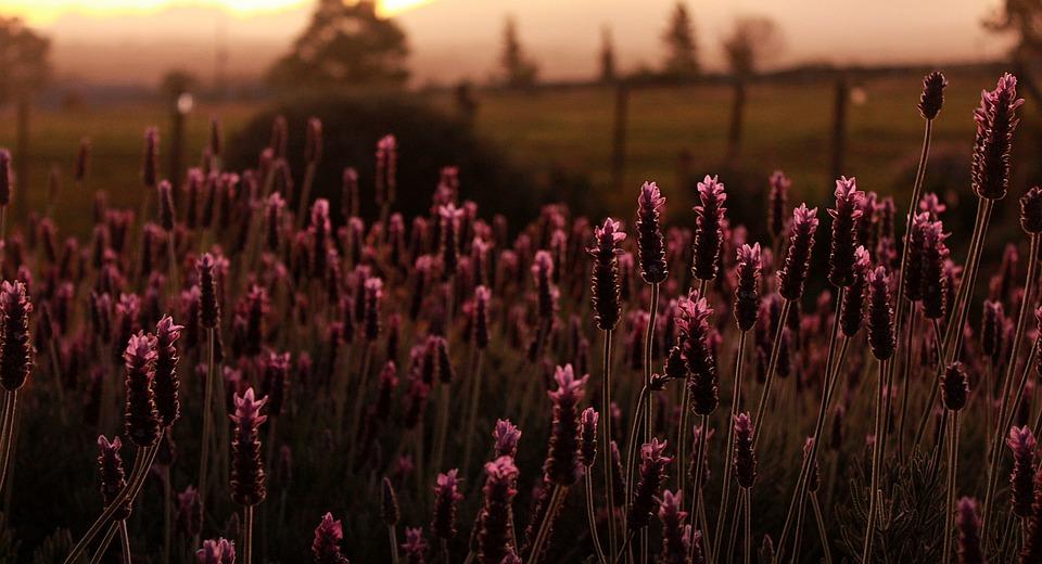 Evening, Nature, Lavender, Bush, Plant, Purple, Sunset
