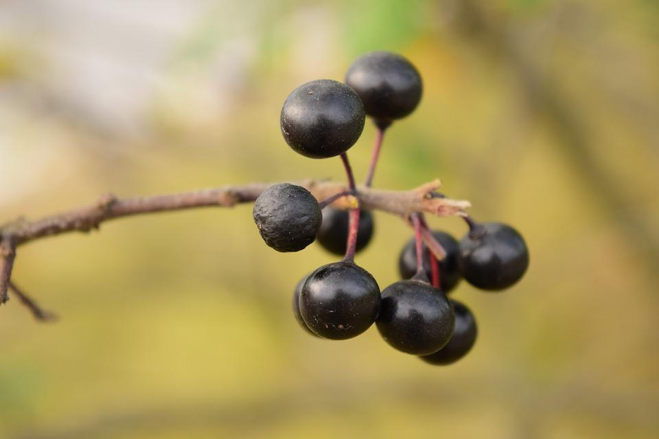 Rowanberries, Black Berries, Nature, Bush, Mountain Ash