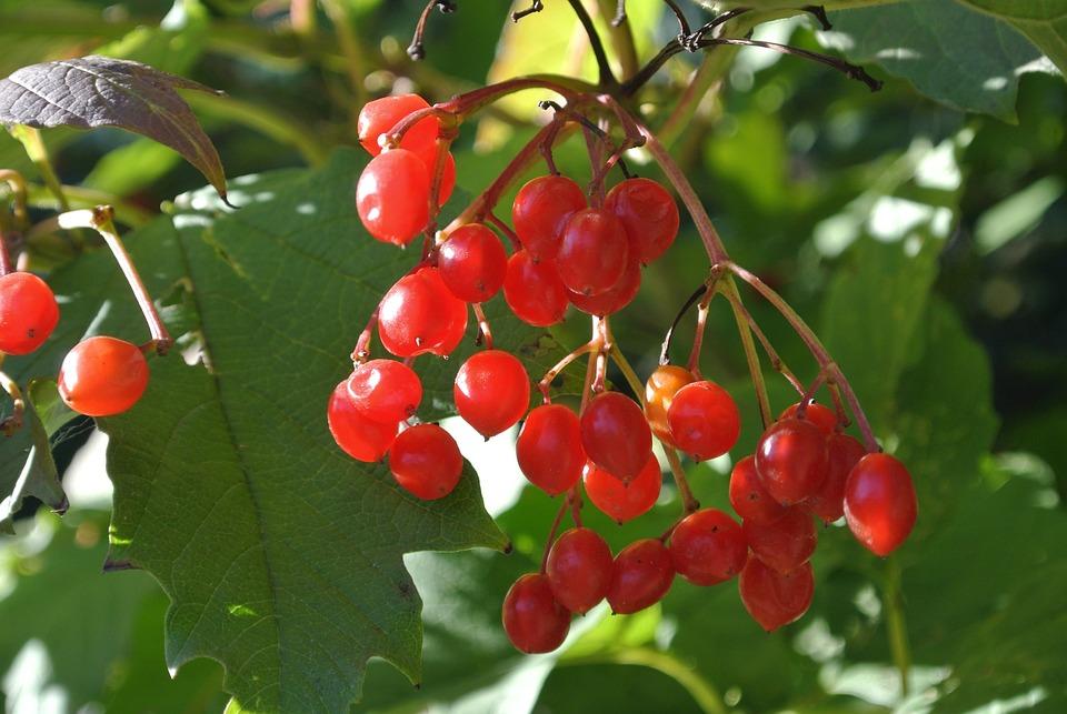 Berries, Red, Rowanberries, Nature, Bush