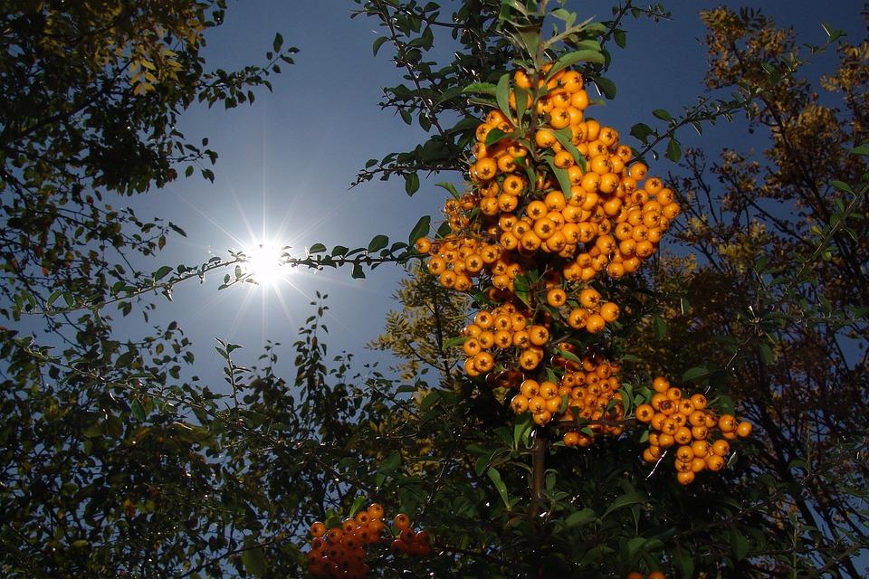 Summer, Crop, Berry, Bush