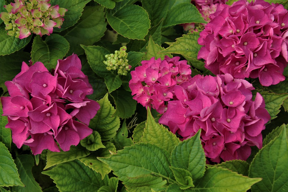Bush, Hydrangea Flowers, Plants, Flora, The Petals